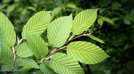 آشنایی با خواص درمانی و دارویی نارون لغزنده slippery elm