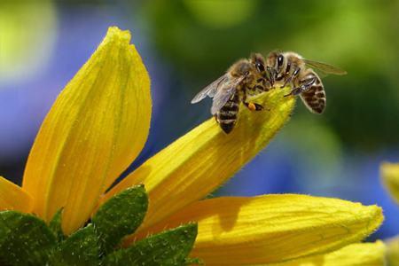 بحران آبوهوایی، پرواز زنبورها را مختل میکند Flying bee