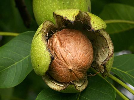 روش کندن پوست گردو سبز Green walnut skin