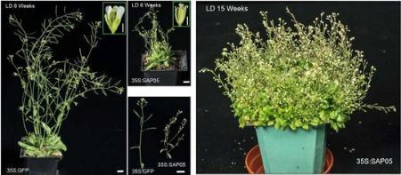 تبدیل شدن گیاهان به زامبی توسط باکتری فیتوپلاسما phytoplasma